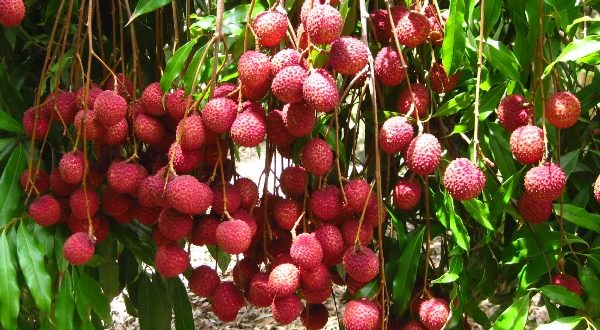 how to grow lychee fruit
