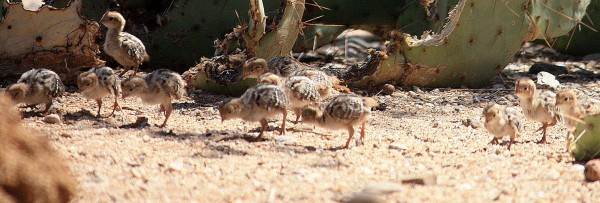 quail farming guide Although a small sized bird, it belongs to the same bird family as pheasants(aparo) quails range in size depending on the species from the japanese quail which is around 10cm tall to the larger mountain quail that can grow up to 25cm tall.