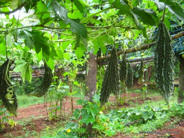 Bitter Gourd Cultivation.