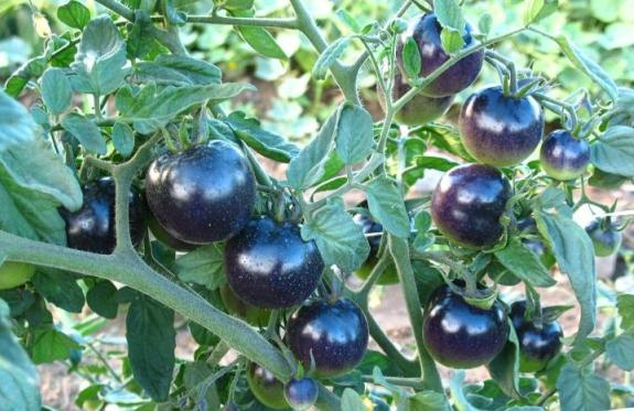 Tomato Farming Information Guide | Asia Farming
