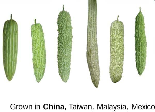 Chinese type bitter gourd