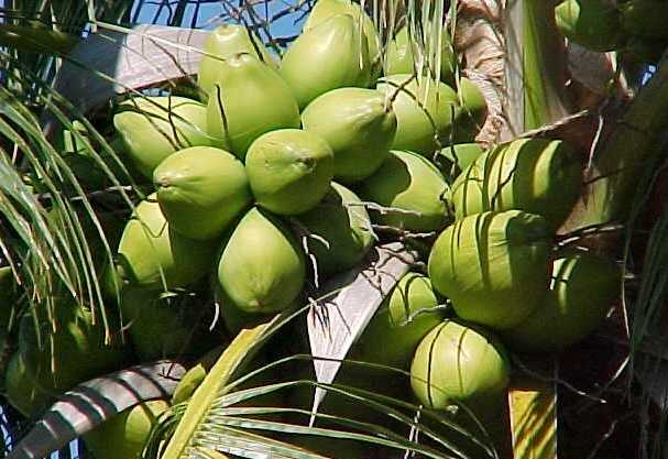 Coconut Cultivation.