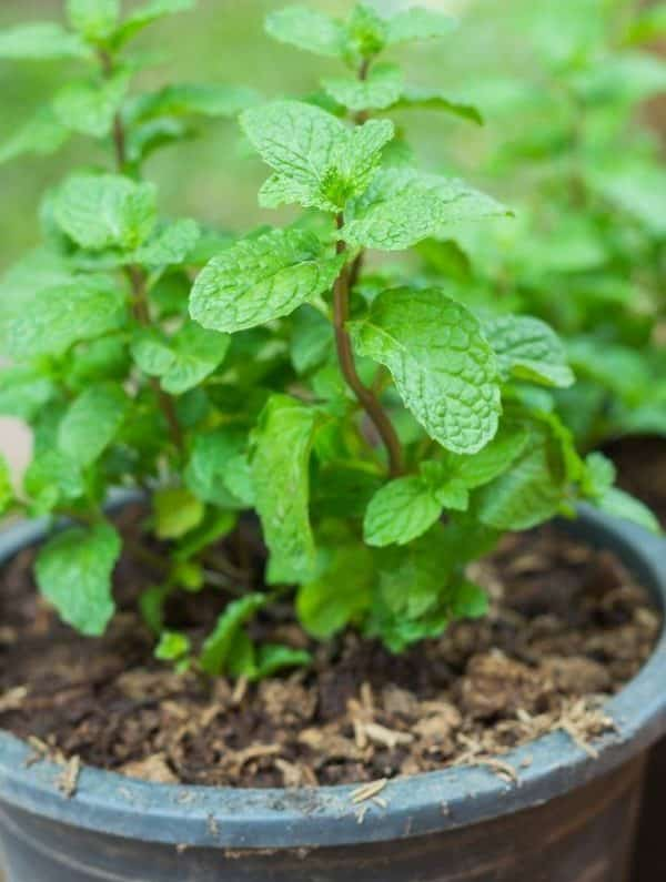 Growing Mint in Container.