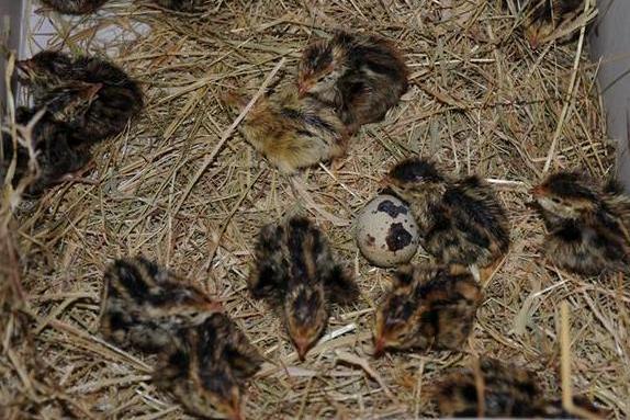 Quail Bird Chicks
