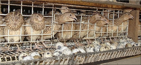 Quail Cage System
