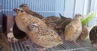 Raising Quails at home cage.