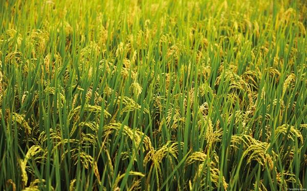 Rice Farming.