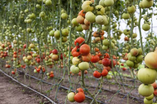 Tomato Cultivation with Drip Irrigation