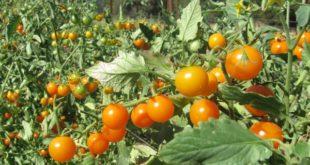Tomato Farming.