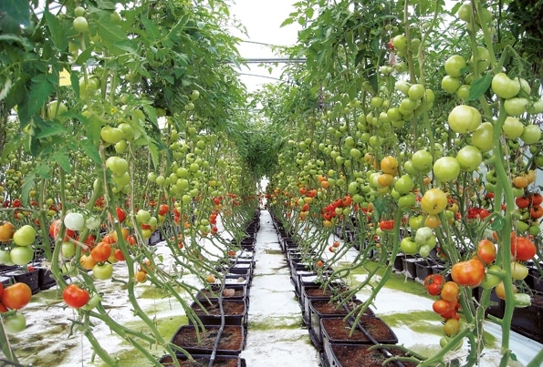 Tomatoes Growing in Hydroponics System