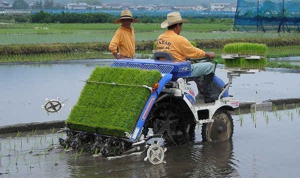 Transplanting Rice with the help of Machine