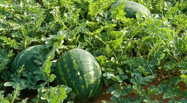 Watermelon Farming.