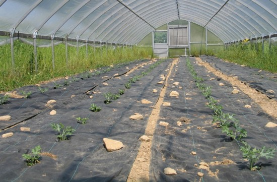 Watermelon Transplantation in Greenhouse