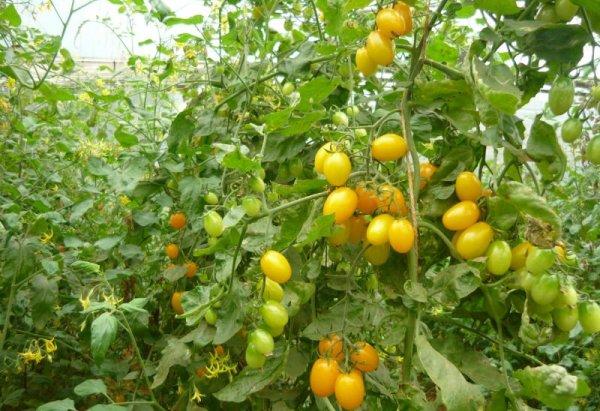 Yellow Tomato Farming