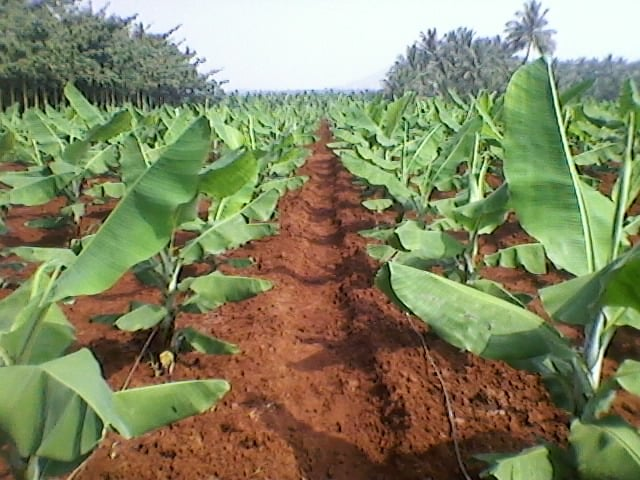 Banana Cultivation with Drip Irrigation