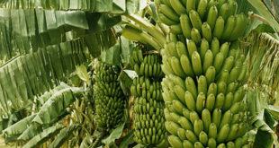 Banana Farming.