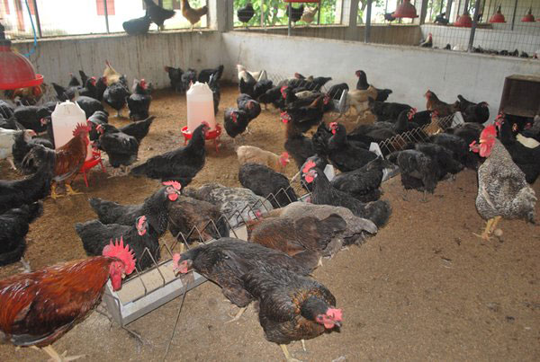 poultry layer management guide pdf