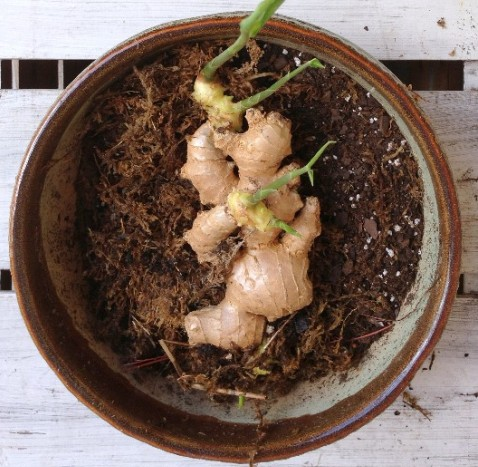 Ginger Growing from Rhizomes