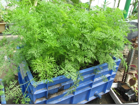 Growing Carrots in Container