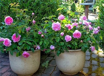 Growing Roses in Pots