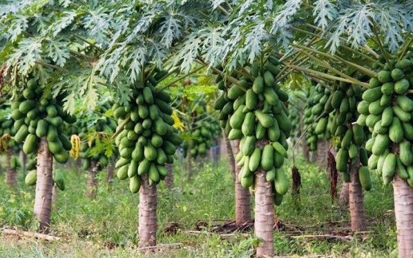 High Density Papaya Farming