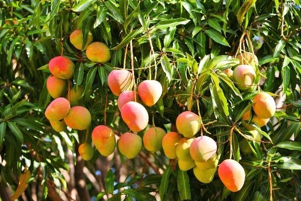 Mango Farming.