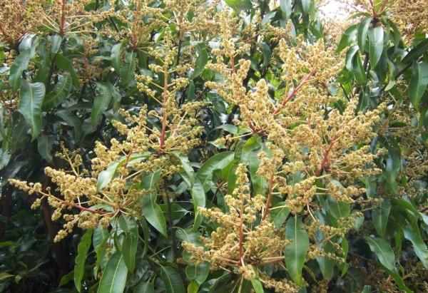 Mango Flowering