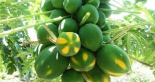 Papaya Farming.