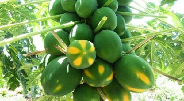 Papaya Farming.