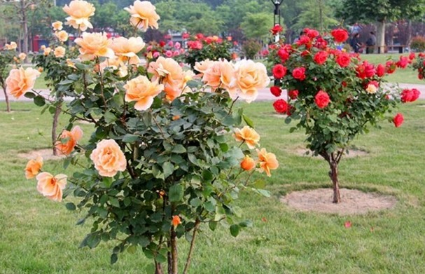 Rose cultivation information guide - Planter des lauriers roses ...
