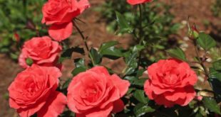 Rose Cultivation.