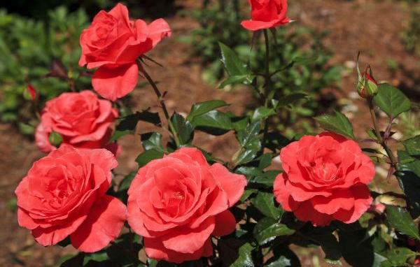 rose cultivation information guide | asia farming