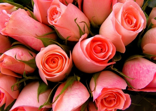 Rose Farming