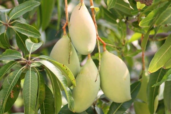 Tall mango Variety.