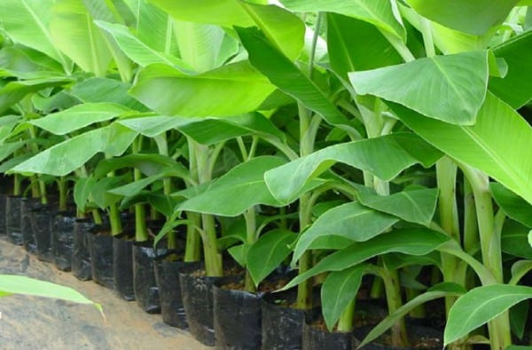 Tissue Culture Banana - Plants