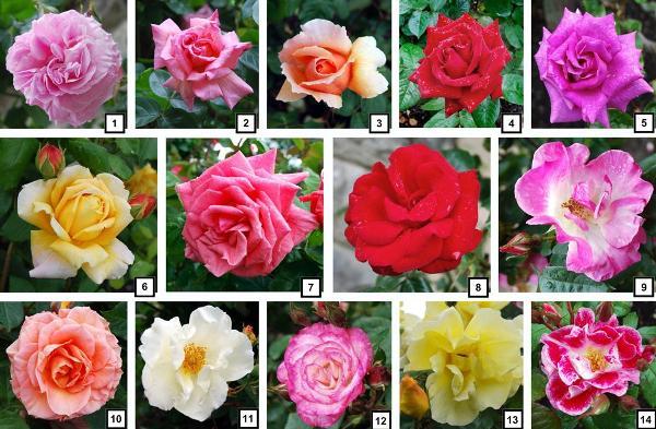 Varieties of Roses