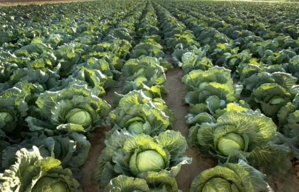 Cabbage Farming Information Guide