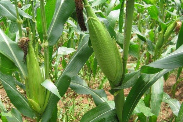 High Yielding Maize Field