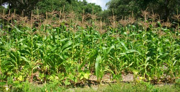 Maize Flowering Stage