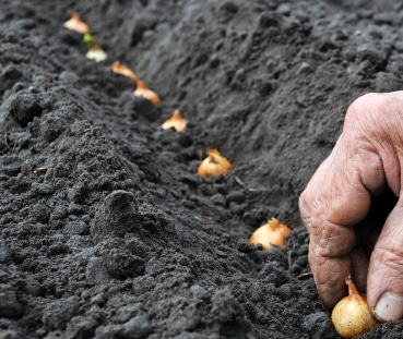 Planting Onions in the Field