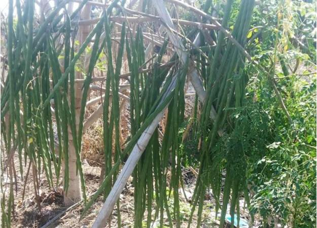 Commercial Drumstick Cultivation.