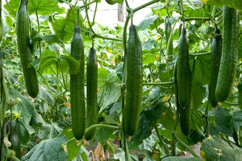 Cucumber Cultivation Information Guide Asiafarming Com