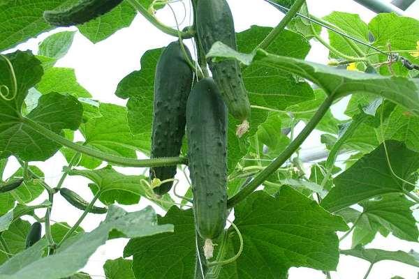 Cucumber Cultivation.