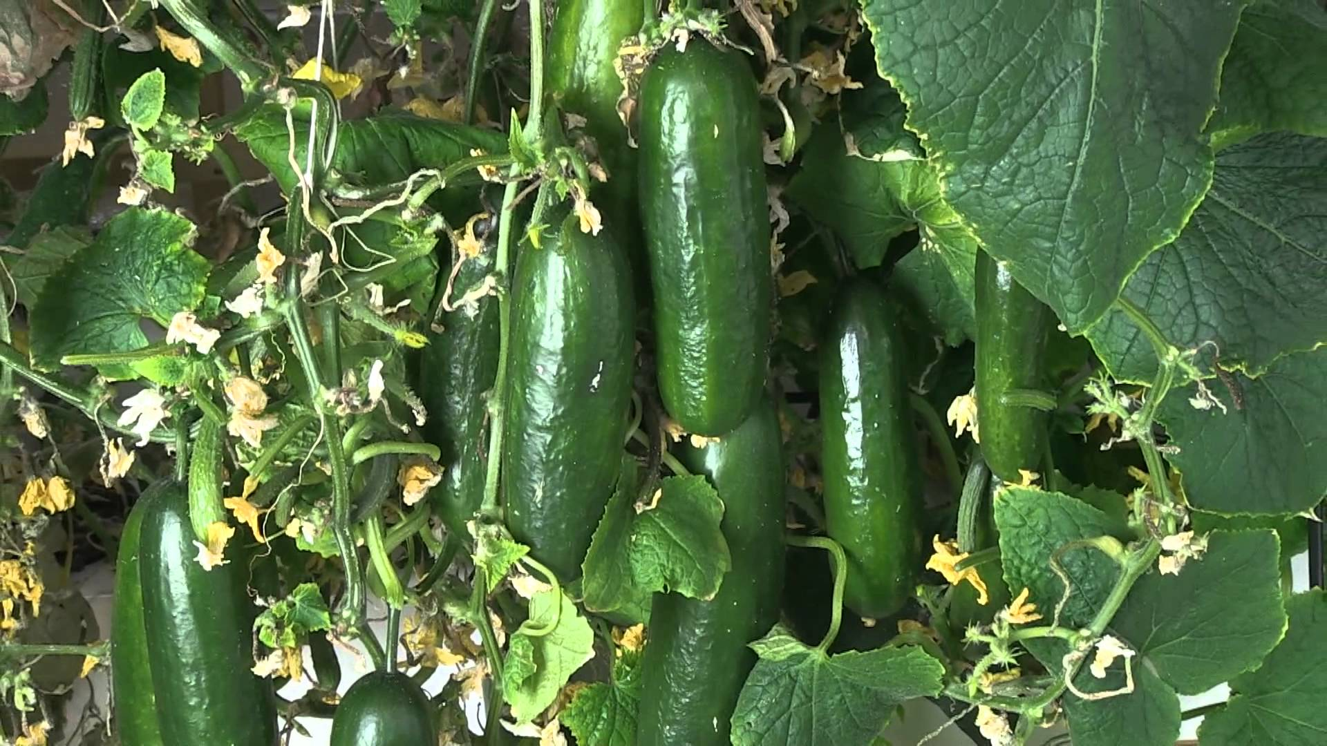 Cucumber Cultivation Information Guide Asia Farming