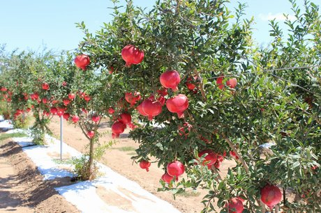 how to grow pomegranate from cuttings