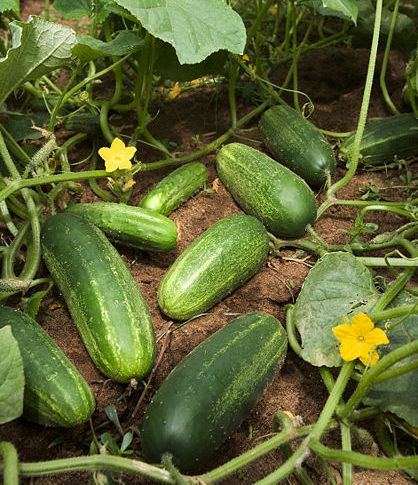 Ready To Harvest Cucumber