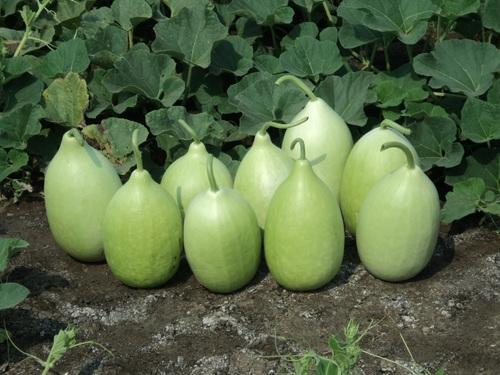 Bottle Gourd Cultivation Information Guide | AsiaFarming.com