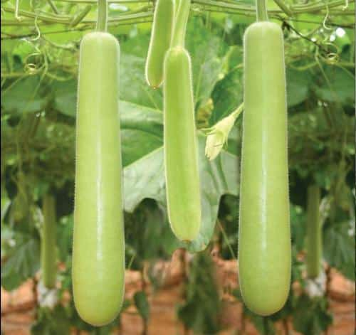 Bottle Gourd Cultivation Information Guide | AsiaFarming.com
