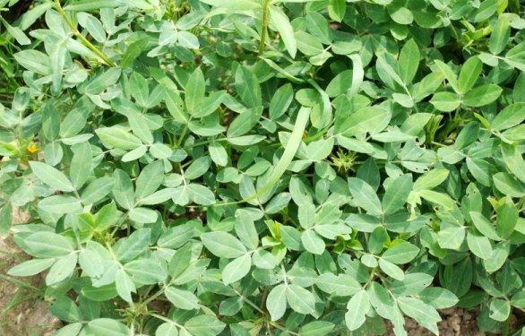 Peanut (Groundnut) Crop