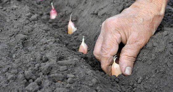garlic cultivation information guide asia farming. Black Bedroom Furniture Sets. Home Design Ideas